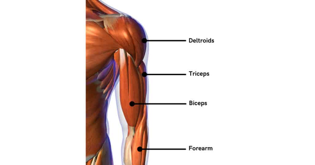 The arm is composed of multiple muscles. Train all the arm muscles for maximum growth!