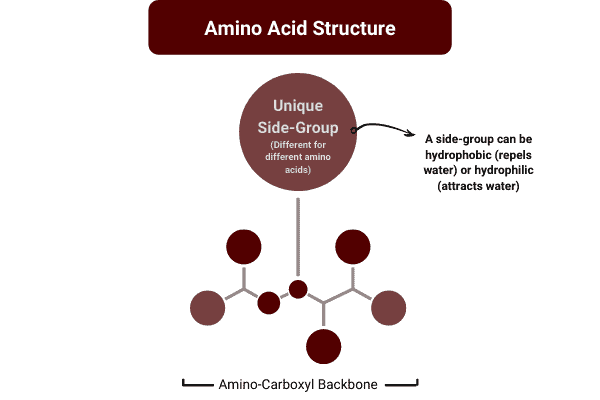 diagram to show the structure of amino acids in a protein powder