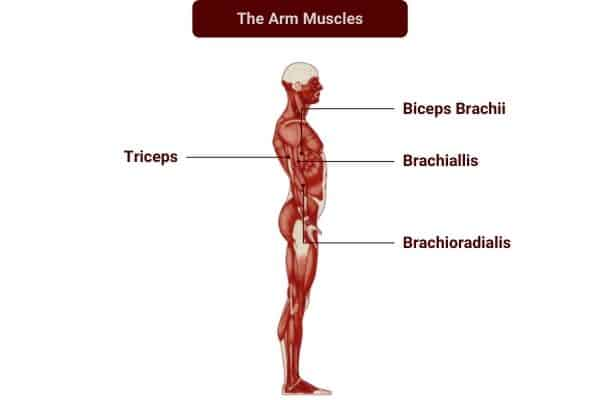 Dumbbell exercises to target the arm muscles