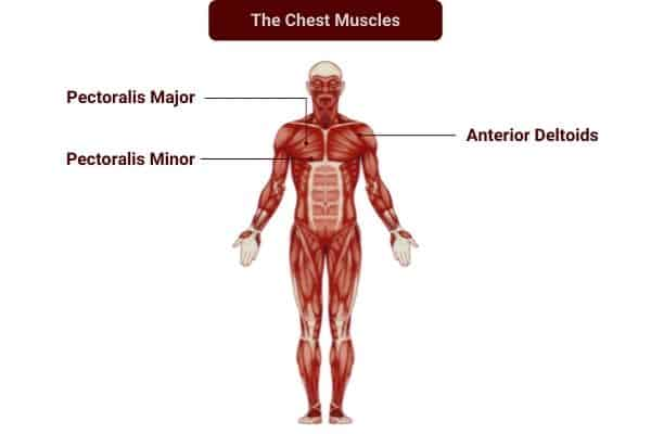 Dumbbell exercises to train the chest muscles