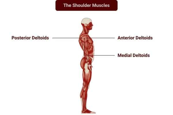 Dumbbell training for the shoulder muscles