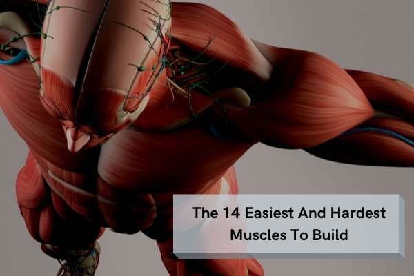 easiest and hardest muscles to build