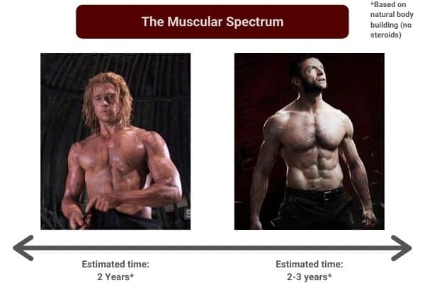 the muscular spectrum showing how long it takes a skinny guy to bulk up