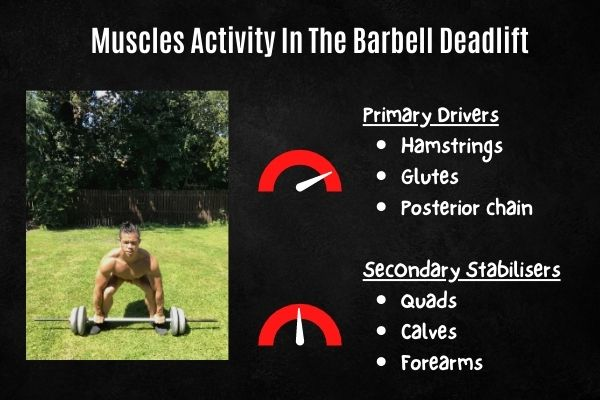 muscles activated in the barbell deadlift