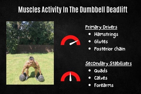 dumbbell deadlift muscles activated