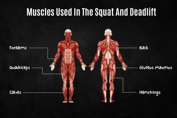 Muscles used in the squat and deadlift